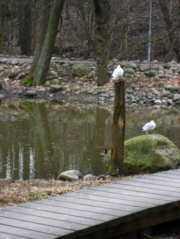 Two Black-headed Gulls