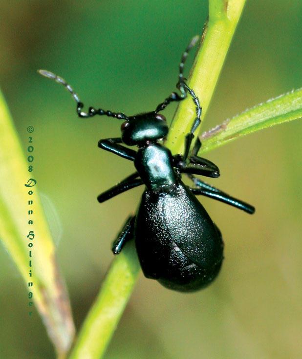 Male Oil Beetle (Meloe)