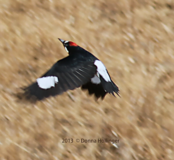 Acorn Woodpecker flying up