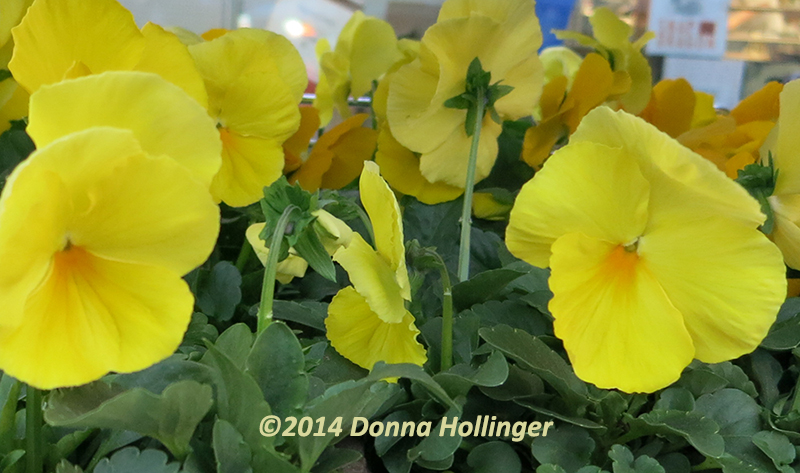 Yellow Pansies in living color!