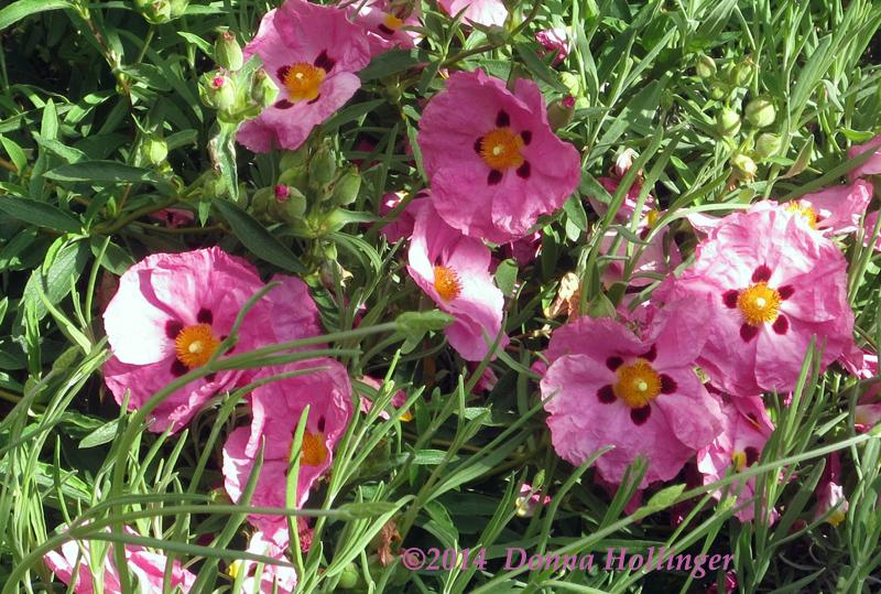 Poppies in Dievole