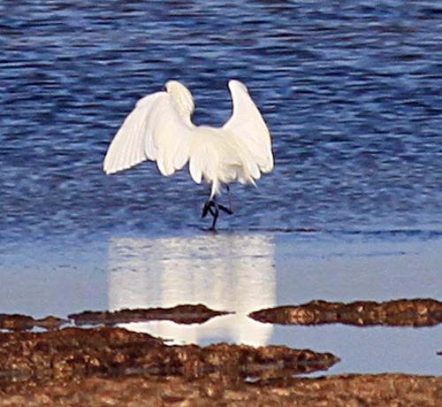 White morph of Reddish Egret Feeding