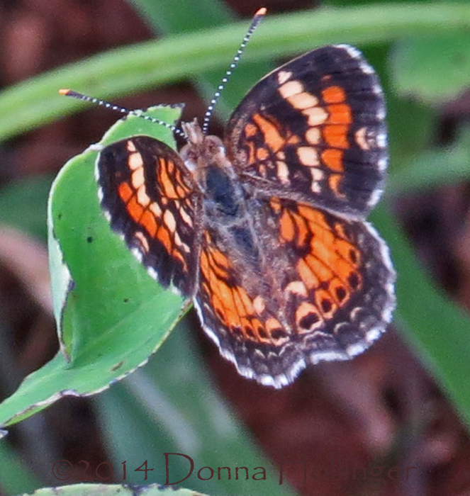Pearl Crescent Butterfly?