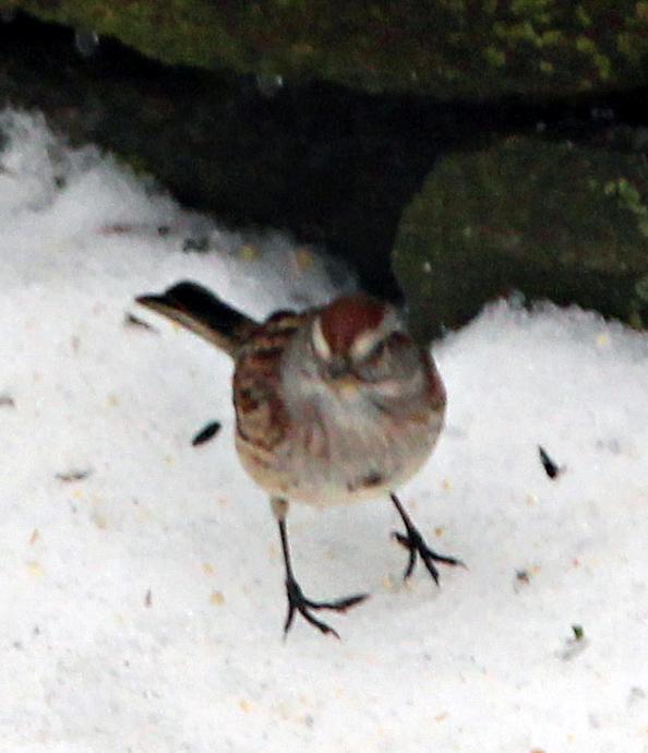 American Tree Sparrow!