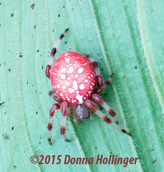 Orbweaver from inside the Lady Slipper