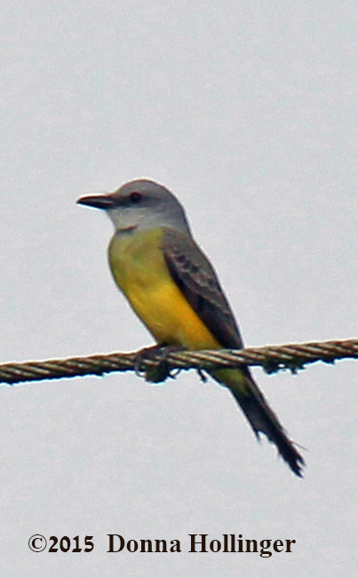 Tropical Kingbird I think.