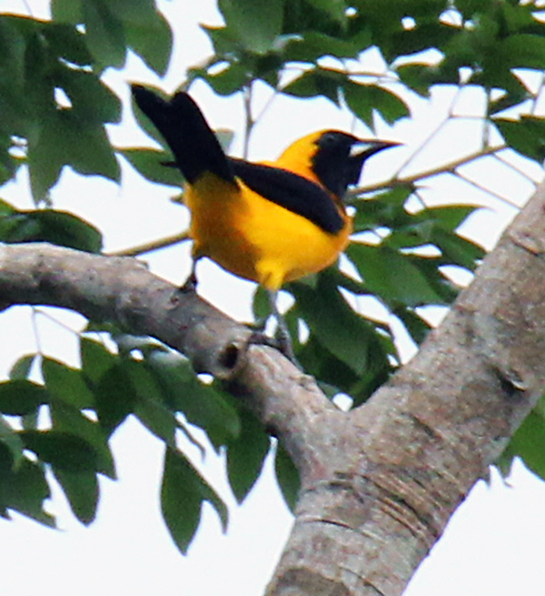Yellow-backed Oriole