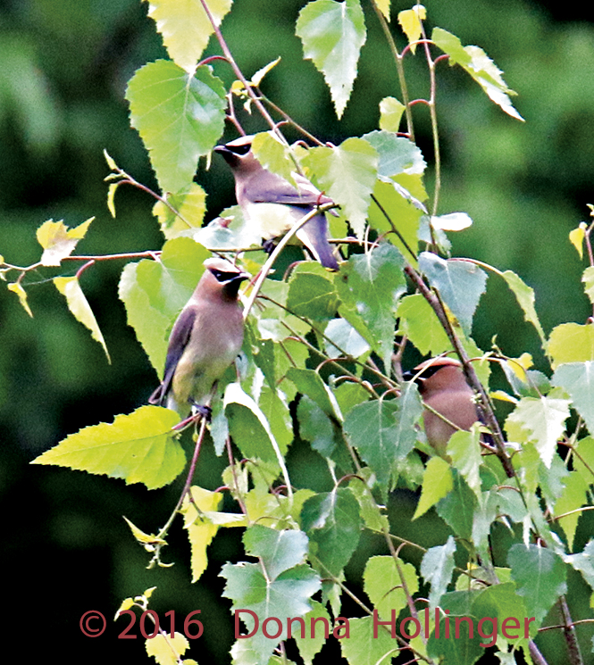 Cedar Waxwings looking for Bugs