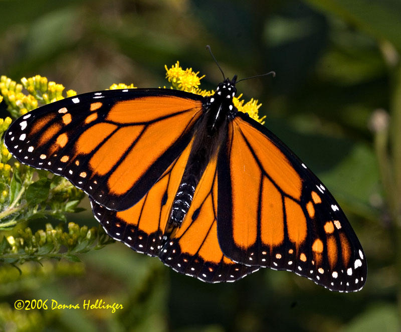 Male Monarch on Goldenrod