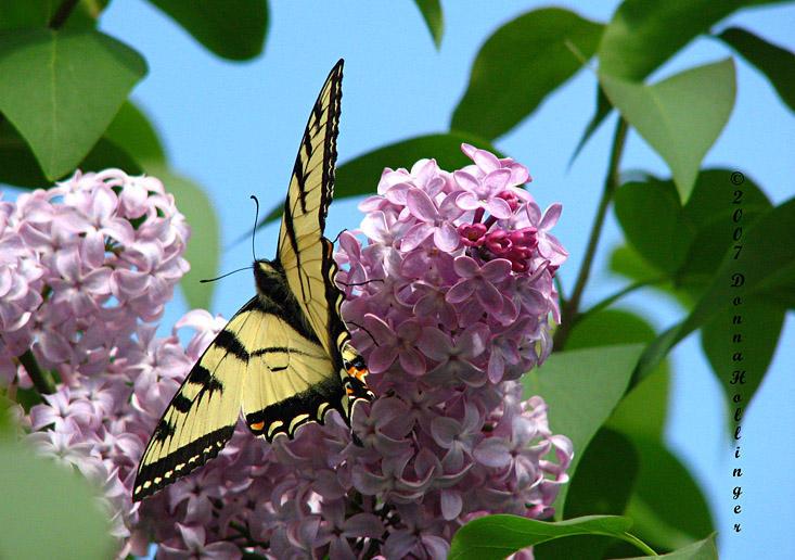 Tiger Swallowtail on Lilac