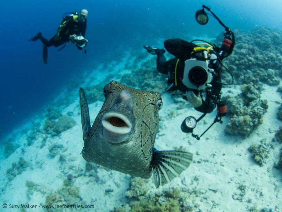 Friendly boxfish