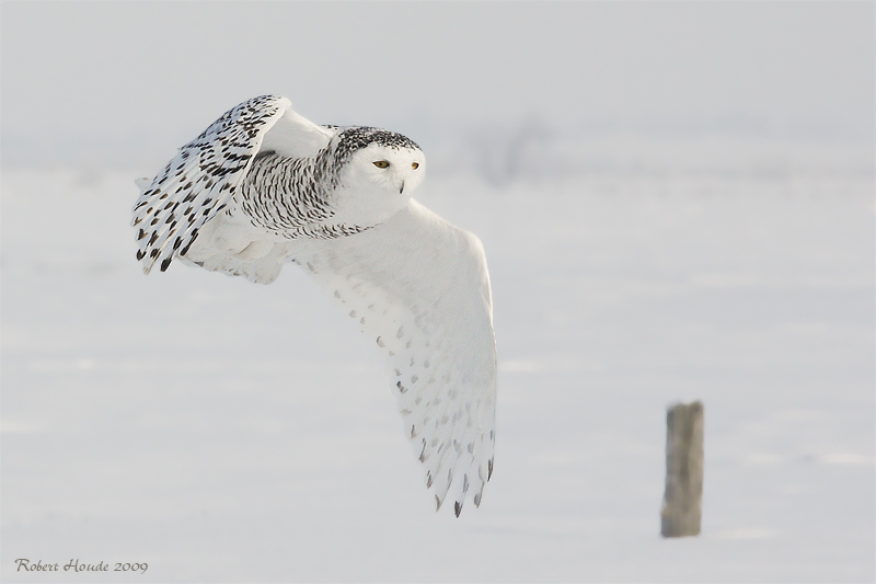 Harfang des neiges -- _MG_4782 -- Snowy Owl