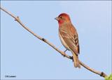 Common Rosefinch - Roodmus_P4B4271