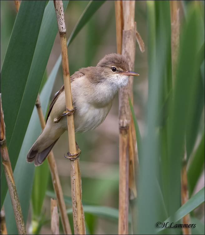 Eurasian Reed Warbler - Kleine Karekiet - Acrocephalus scirpaceus