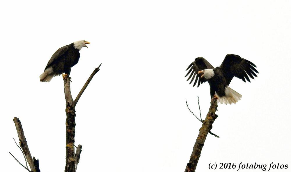 Bald Eagle Talk