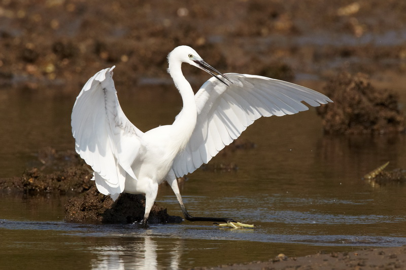Little Egret / Silkehejre, CR6F3973 18-12-2010.jpg