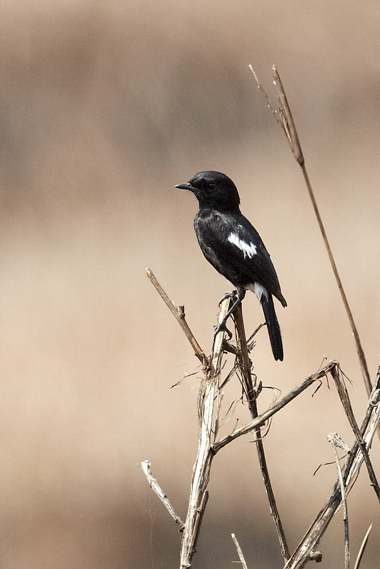 Pied Bush Chat / Sort Bynkefugl, CR6F9870 12-03-2012.jpg