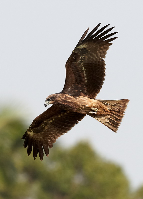 Black Kite / Sort Glente, CR6F0747 13-03-2012.jpg