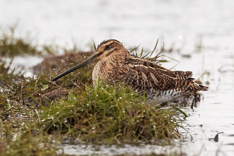 Snipe / Dobbeltbekkasin, CR6F3852 20-04-2012.jpg