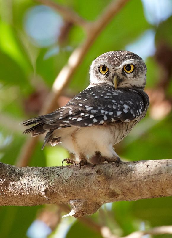 Spotted Owl /Plettet Natugle, CR6F4786, 14-12-2013.jpg
