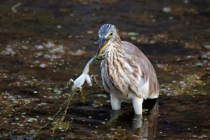 Indian Pond Heron / Rishejre, CR6F5300, 16-12-2013.jpg