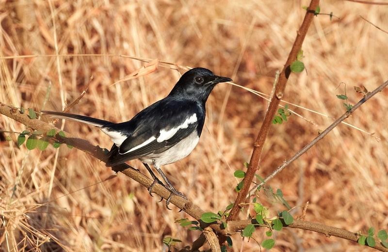 Oriental Magpie-Robin /  Dayal, CR6F6102, 23-12-2013.jpg