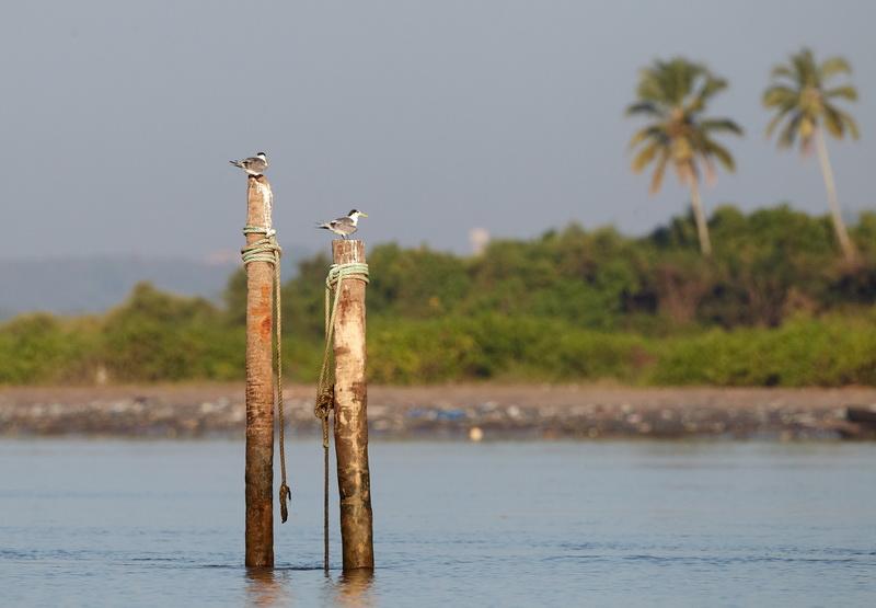 Great Crested Tern / Bergiusterne, CR6F6515, 24-12-2013.jpg