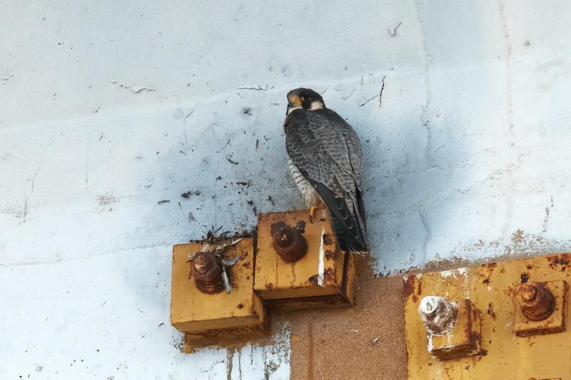 Peregrine Falcon / Vandrefalk, CR6F6552, 24-12-2013.jpg