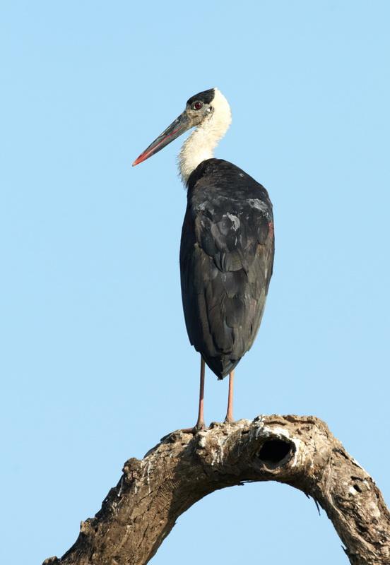 Woolly-necked Stork / Uldhalsstork, CR6F7167, 24-12-2013.jpg