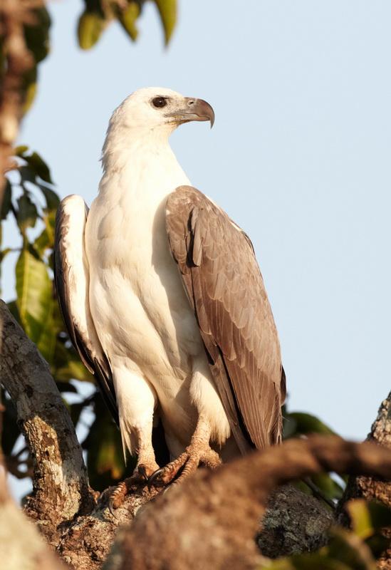 White-bellied Sea Eagle / Hvidbrystet Havørn, CR6F7794, 27-12-2013.jpg