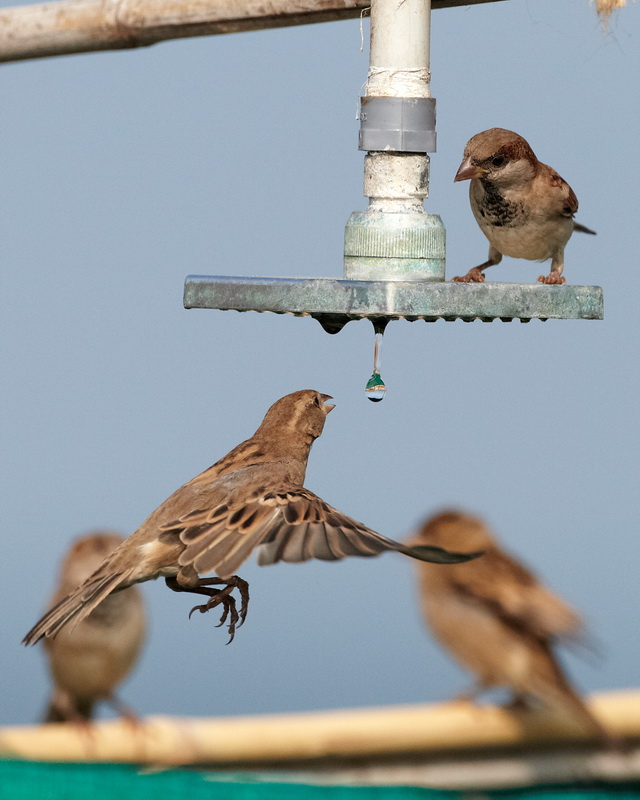 House Sparrow / Gråspurv, CR6F8512, 30-12-2013.jpg