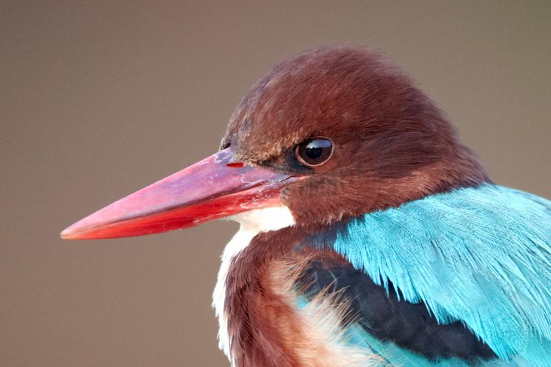 White-throated Kingfisher / Smyrnaisfugl, CR6F8758, 31-12-2013.jpg