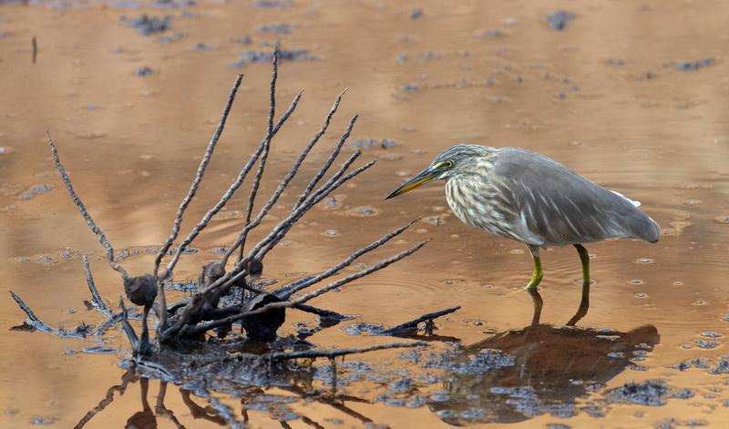 Indian Pond Heron / Rishejre, CR6F8863, 01-01-2014.jpg