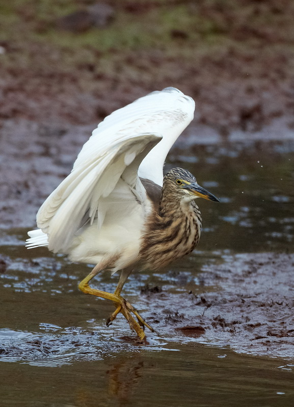 Indian Pond Heron / Rishejre, CR6F0205, 06-01-2014.jpg