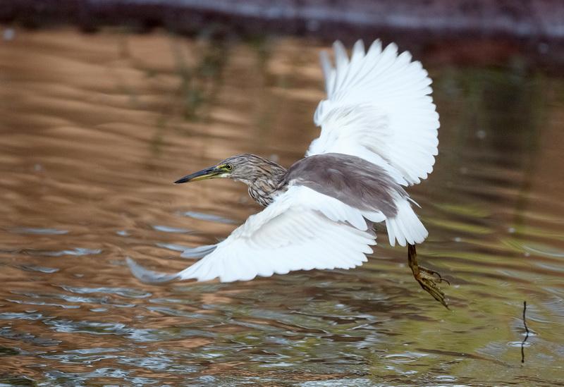 Indian Pond Heron / Rishejre, CR6F1220, 08-01-2014.jpg