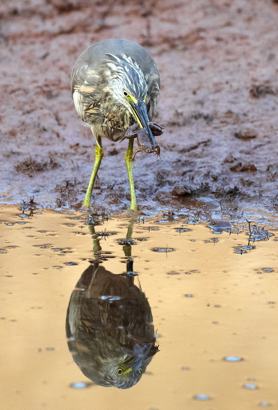 Indian Pond Heron / Rishejre, CR6F1318, 08-01-2014.jpg