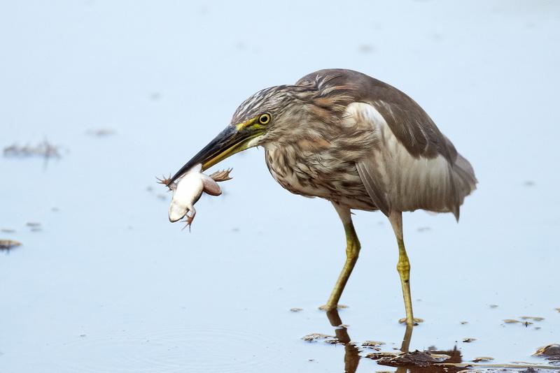 Indian Pond Heron / Rishejre, CR6F1374, 08-01-2014.jpg