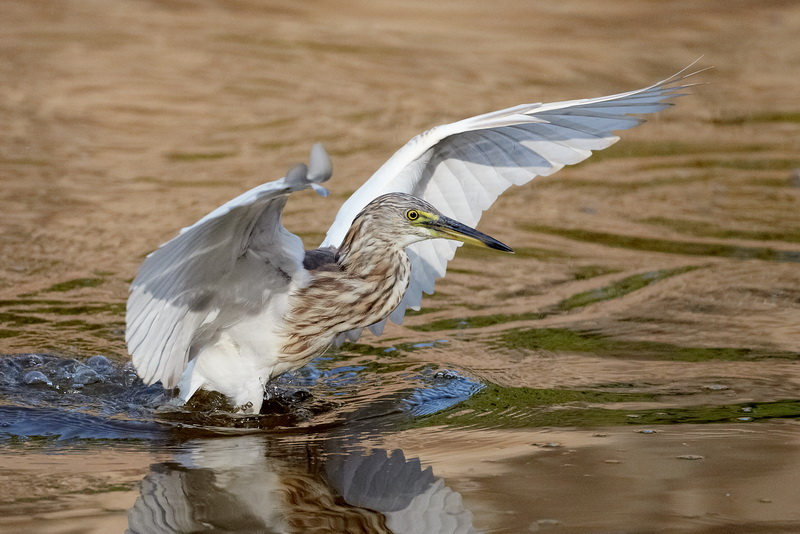 Indian Pond Heron / Rishejre, CR6F1421, 08-01-2014.jpg