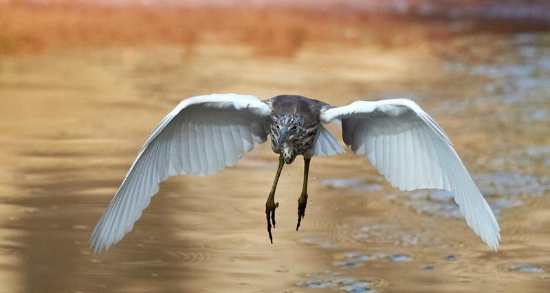 Indian Pond Heron /  Rishejre, CR6F1423, 08-01-2014.jpg