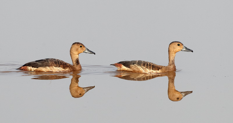 Lesser Whistling / Duck Lille Træand, CR6F0400, 07-01-2014.jpg
