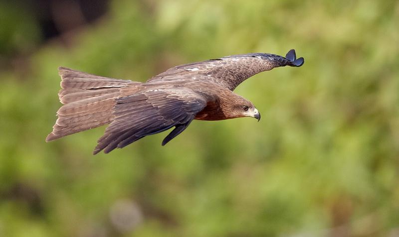 Black Kite / Sort Glente, CR6F1798, 09-01-2014.jpg