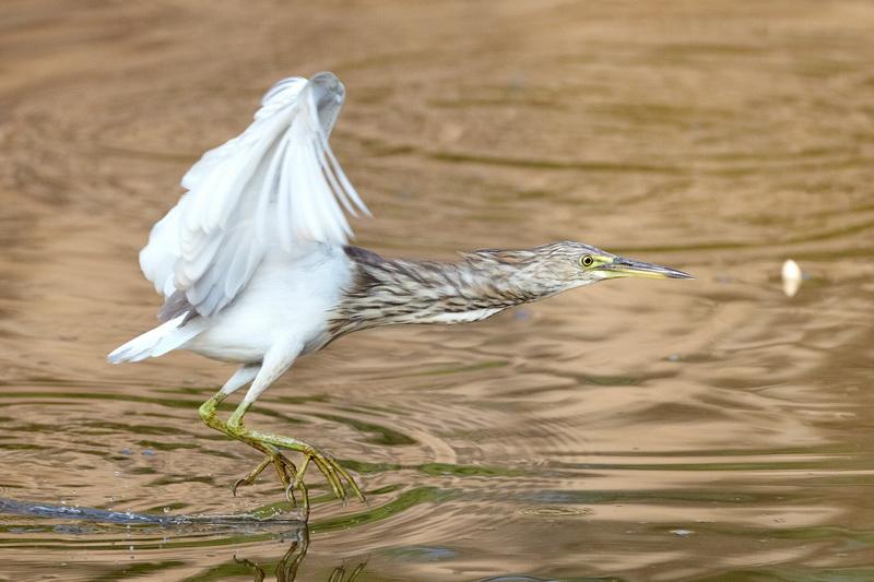 Indian Pond Heron / Rishejre, CR6F2157, 10-01-2014.jpg