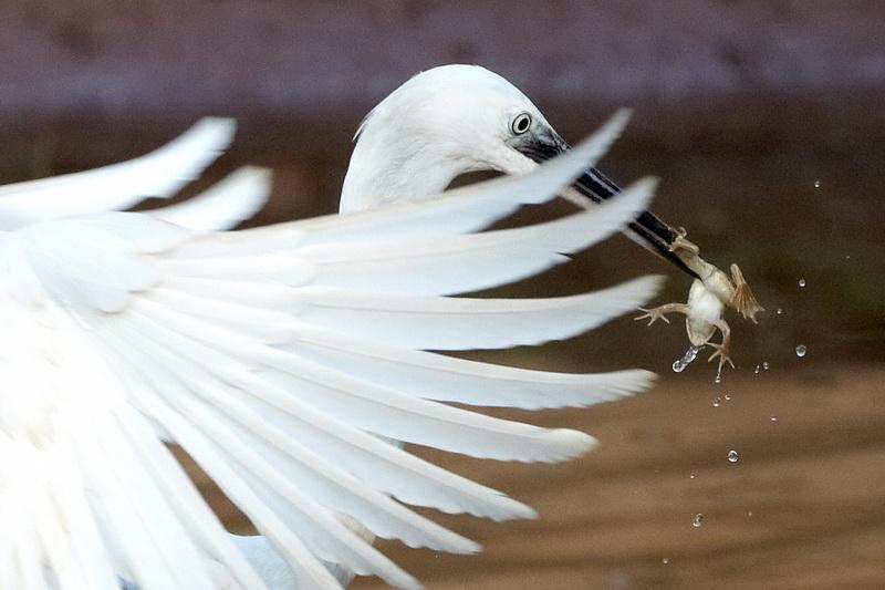 Little Egret / Silkehejre, CR6F2631, 12-01-2014.jpg