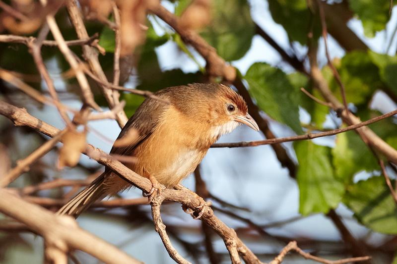 Tawny-bellied Babbler / Rustbuget TimalieCR6F2584, 12-01-2014.jpg
