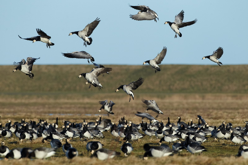 Barnacle Goose / Bramgås, CR6F2306, 17-02-2014.jpg
