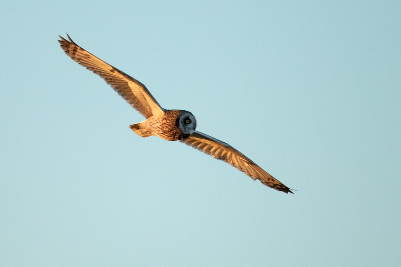 Short-eared Owl / Mosehornugle, CR6F2940, 17-02-2014.jpg