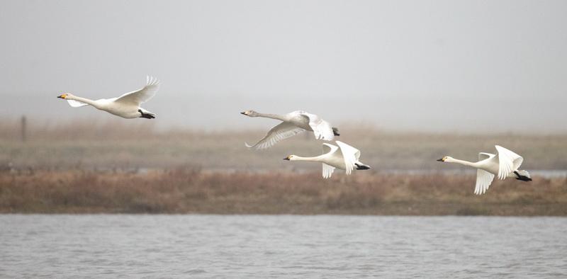 Whooper Swan / Sangsvane  / Tundra Swan / Pibesvane, CR6F3593, 06-03-2014.jpg