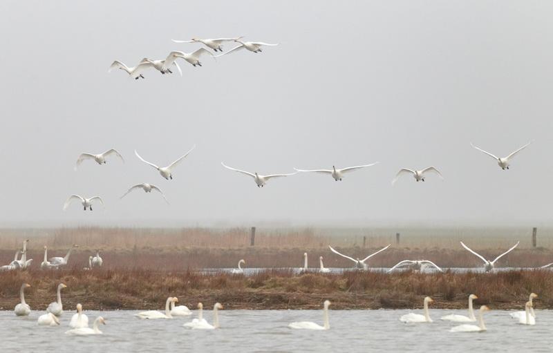 Whooper Swan / Sangsvane , CR6F3618, 06-03-2014.jpg