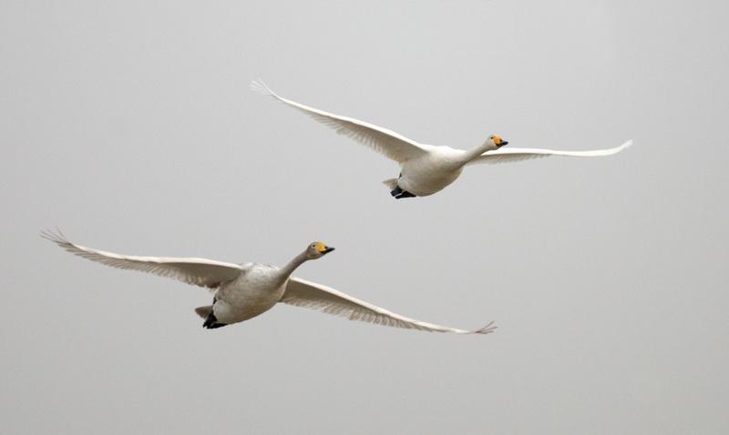 Whooper Swan / Sangsvane , CR6F3683, 06-03-2014.jpg