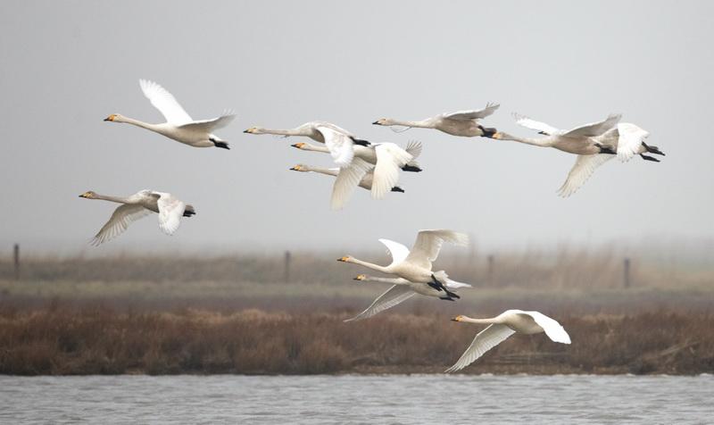 Whooper Swan / Sangsvane , CR6F3719, 06-03-2014.jpg